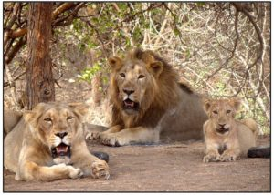Gir Forests Sees Record Increase in Population of Asiatic Lions in last 5 years