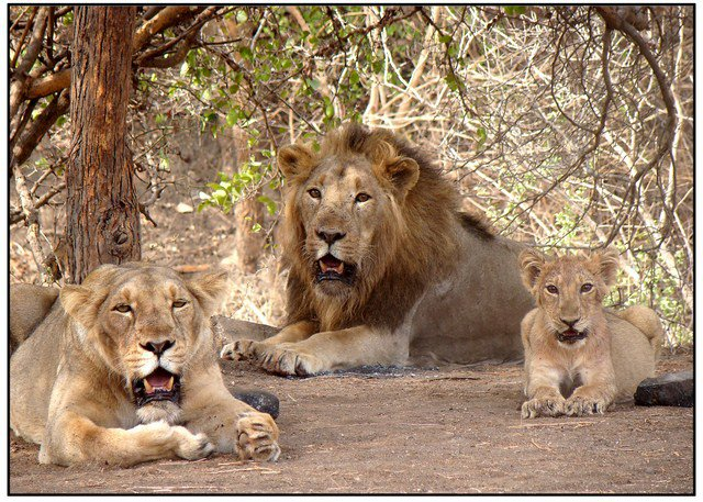 Record Increase in Population of Asiatic Lions in the Country In Last 5 Years